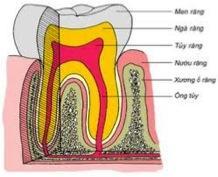 Cấu trúc răng và mô quanh răng