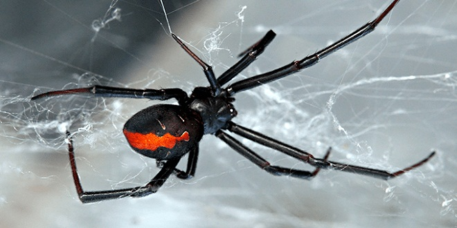 Nhện góa phụ đen (Black widow spider)