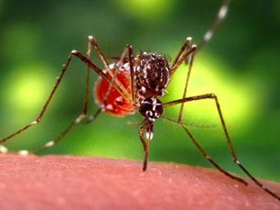 Muỗi Aedes aegypti truyền bệnh sốt xuất huyết Dengue