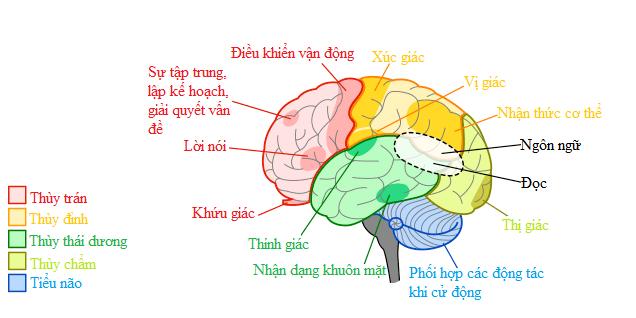 Thành phần và chức năng của não
