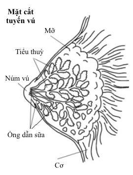 mặt cắt tuyến vú