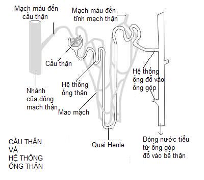 Cầu thận và hệ thống ống thận