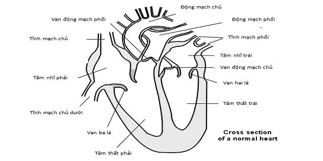 mặt cắt ngang tim bình thường