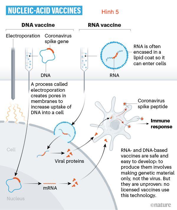 Cuộc đua tìm vaccine trị SARS-CoV-2 (5)