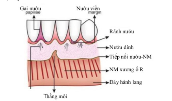 Tổng quan cấu trúc giải phẫu của nướu răng