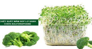 Rau mầm Súp lơ xanh (Bông cải xanh)